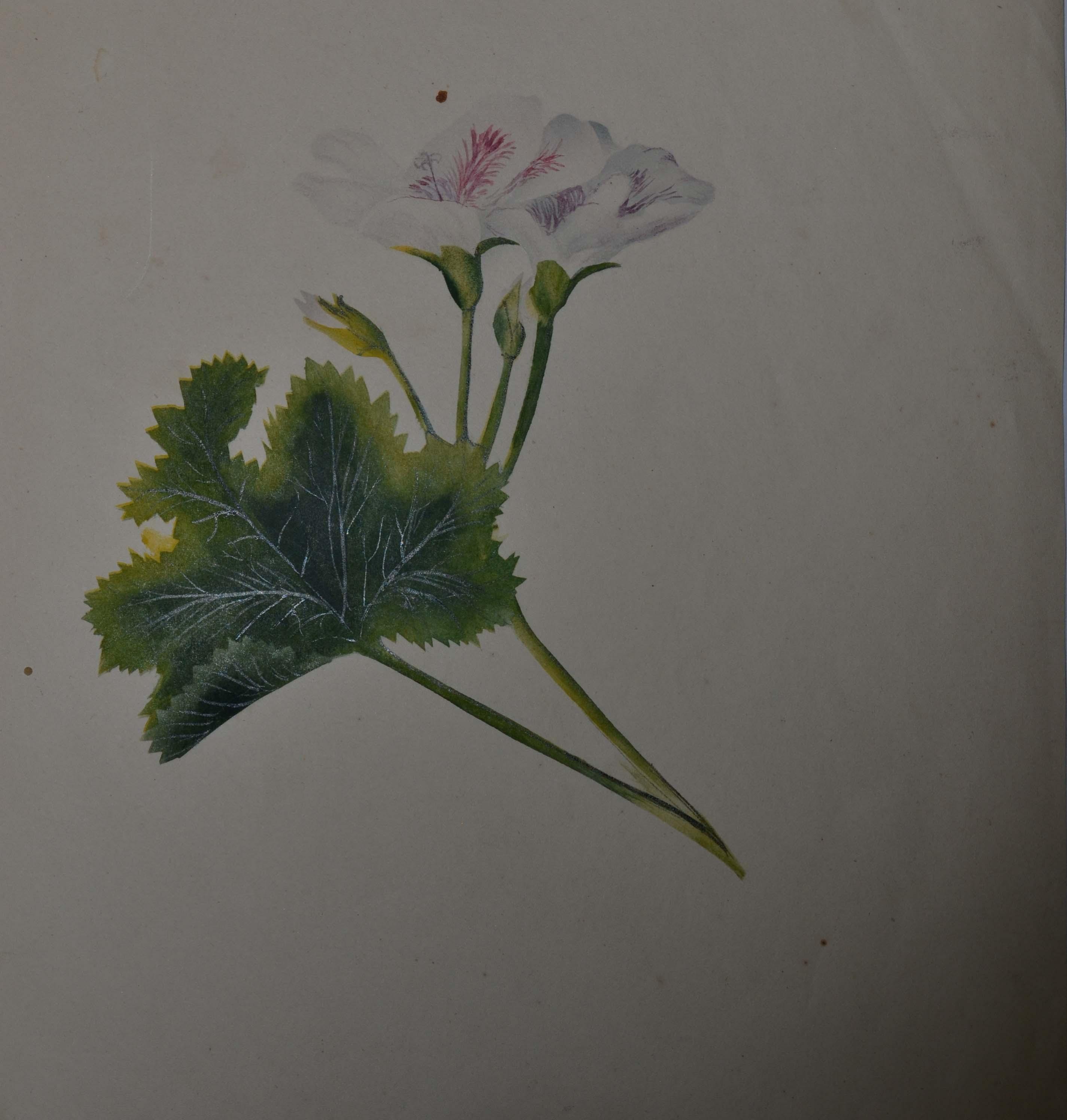 geranium Sarah Forrer